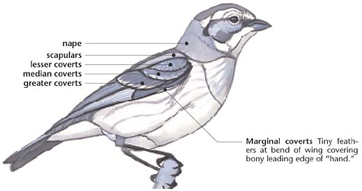 Swartzentrover.com   External Anatomy of a Bird