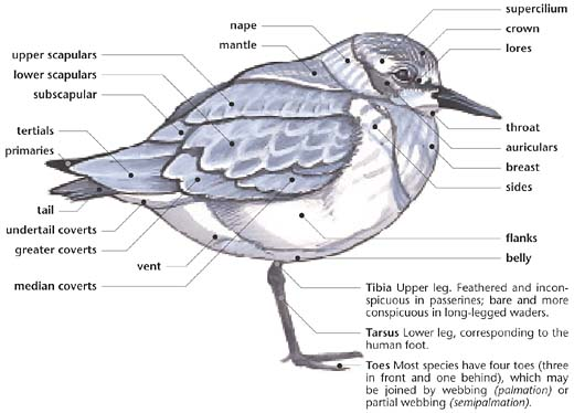 Swartzentrover External Anatomy Of A Bird